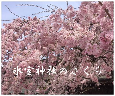 氷室神社の桜.png